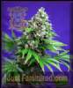 Sweet - Killer Kush Fast V - Female 5 Ganja Seeds